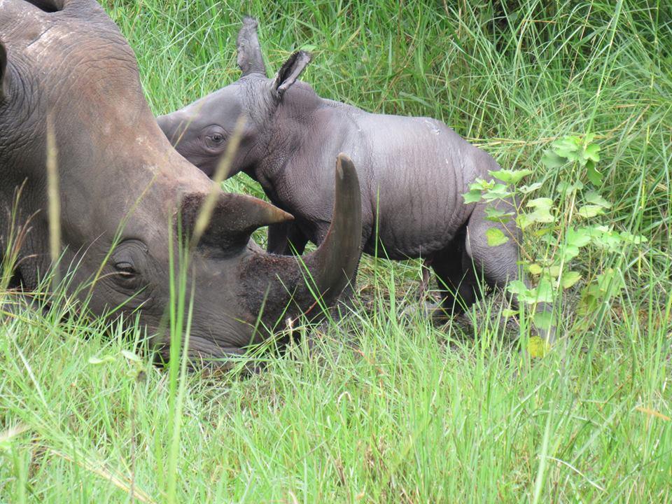 Rhino ziaw